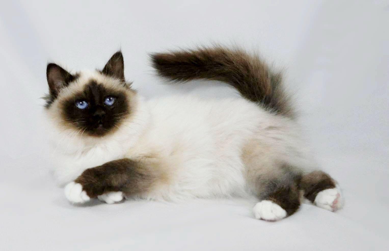 Razas de Gatos [megapost] parte 1 Razas de gatos, Gatos