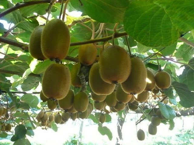 Growing Kiwi Fruit In Your Garden Really Not That Hard