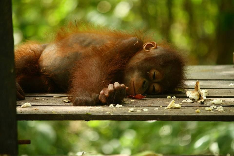 Beautiful but tragic photo of a sleeping baby orang-utan...its an orphan so it sleeps alone, normally they would be in her/his mothers arms...we kill orangutans so we can eat Tim Tams...and clean our houses with Earth Choice cleaning products
