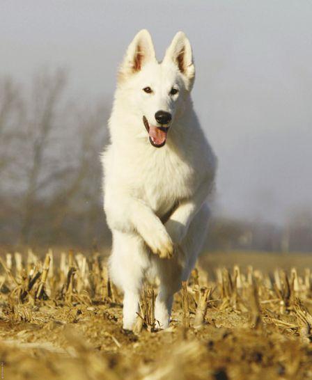 Berger Blanc Suisse Dog Photo Dog Breeds Fci Group 1 White