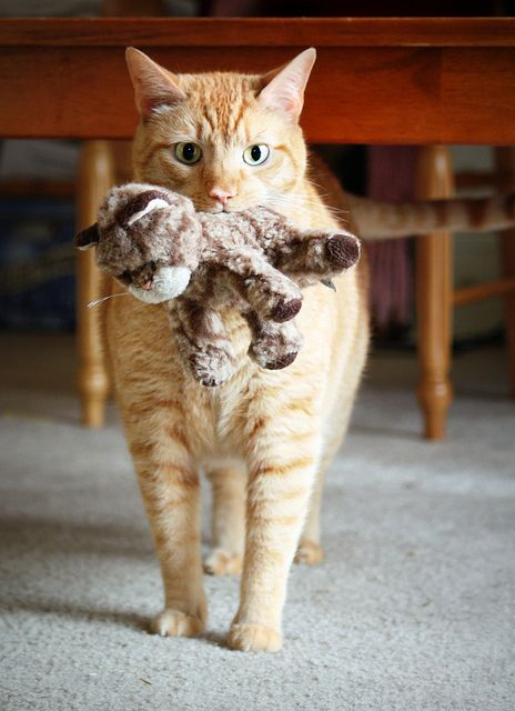 My kitty used to carry around a stuffed orange tabby cat that was about as big as him. He was different!  RIP Gretty