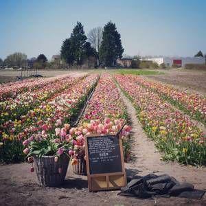 """Annemieke's Pluktuin Hillegom -  Risparmiare su spazi negozio.  Olanda: """"Giardino-cogli-da-te"""" con altri servizi ancora: le stradine tra i fiori sono larghe per permettere anche ai disabili di cogliere o di passeggiare; noleggio canoe per scoprire la regione dei tulipani sulle acque. Per chi non ha voglia di cogliere, ci sono mazzi di fiori già pronti a comprare e """"buoni regalo per una raccolta"""""""