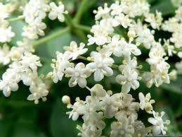 a nice bush of jasmine