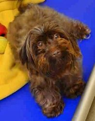 Willow Src 1507 In Sc Is An Adoptable Lhasa Apso Dog In Lenoir