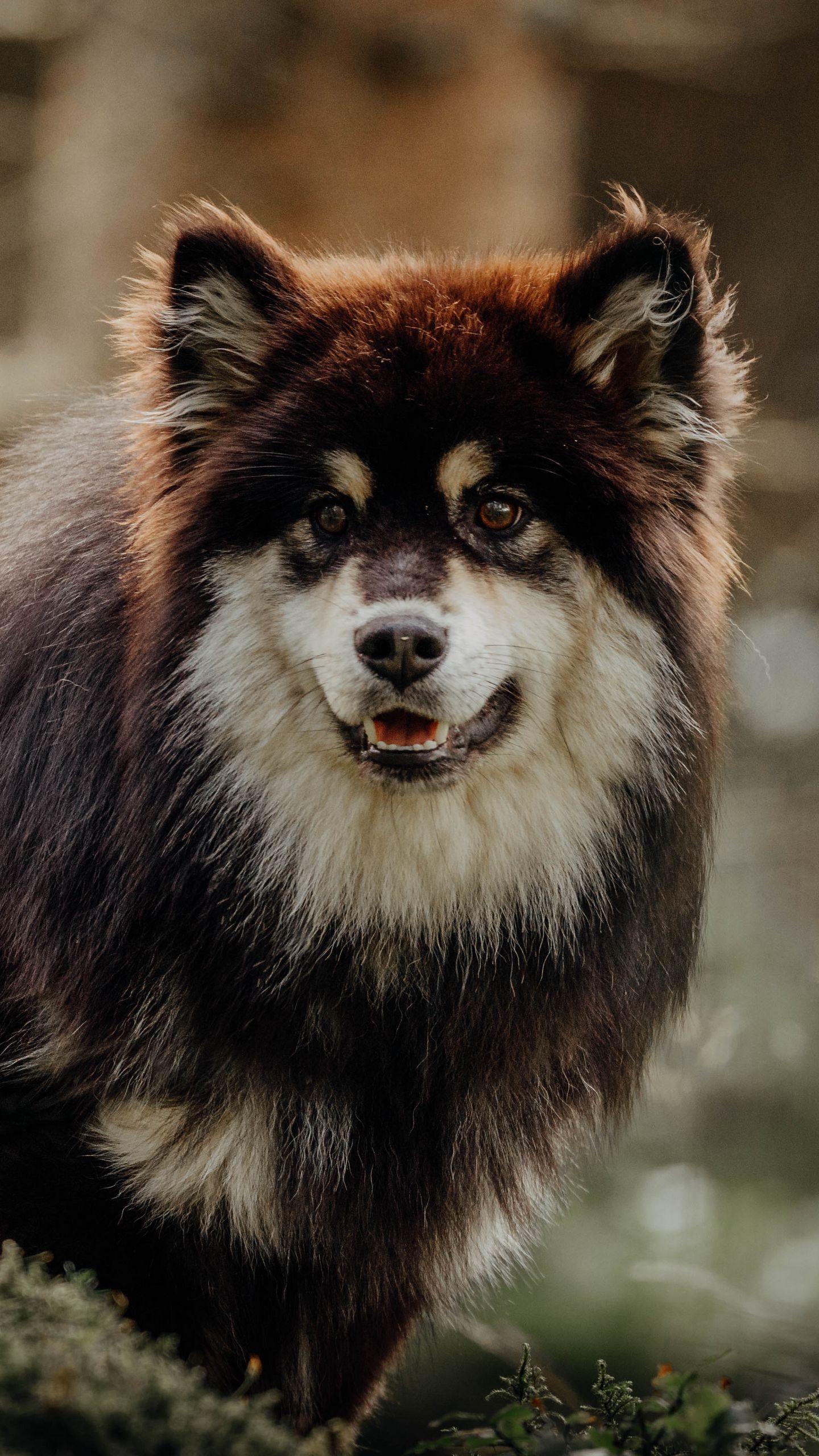 Обои Собака, Финский лаппхунд, морда. Собаки foto 18