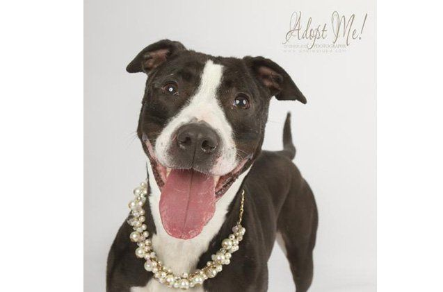Adoptable Dog of the Week Piper PetGuide Pit dog