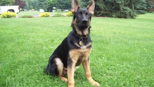 4 Month Old Black And Brown German Shepherd Puppy German