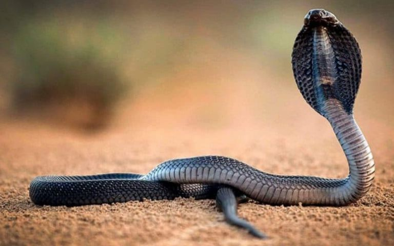 ما تفسير رؤية الأفعى في المنام لابن سيرين موقع مصري In 2021 Snake Snake Venom King Cobra