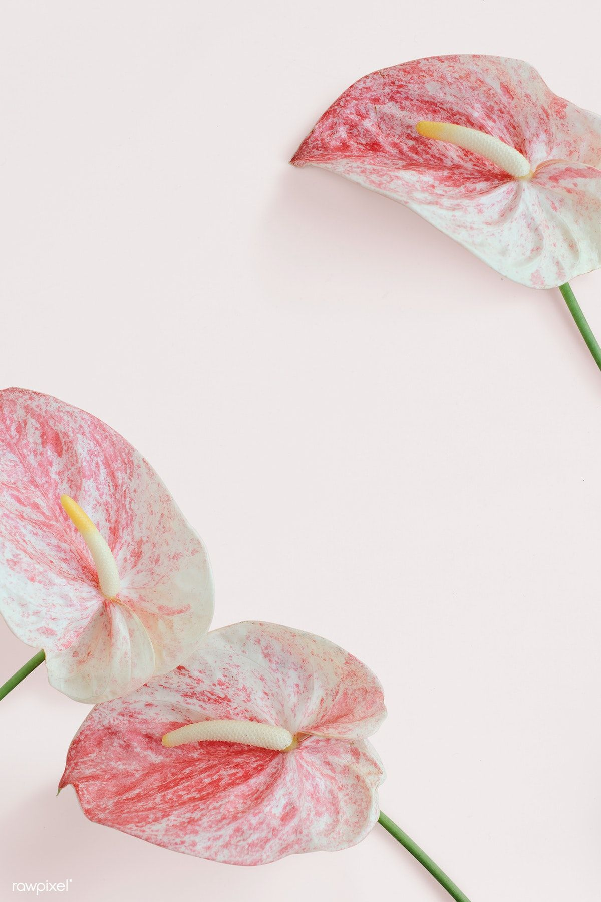 Download Premium Psd Of Pink Anthurium Pattern On A Pink Background 1210145 Pink Flowers Background Pink Background Anthurium