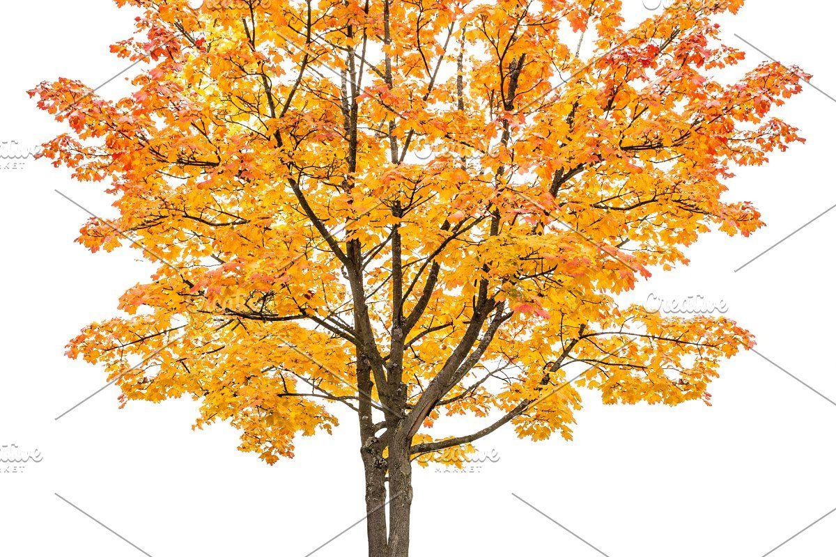 Maple Tree Autumn Png Transparent Yellow Tree Autumn Trees Maple Tree