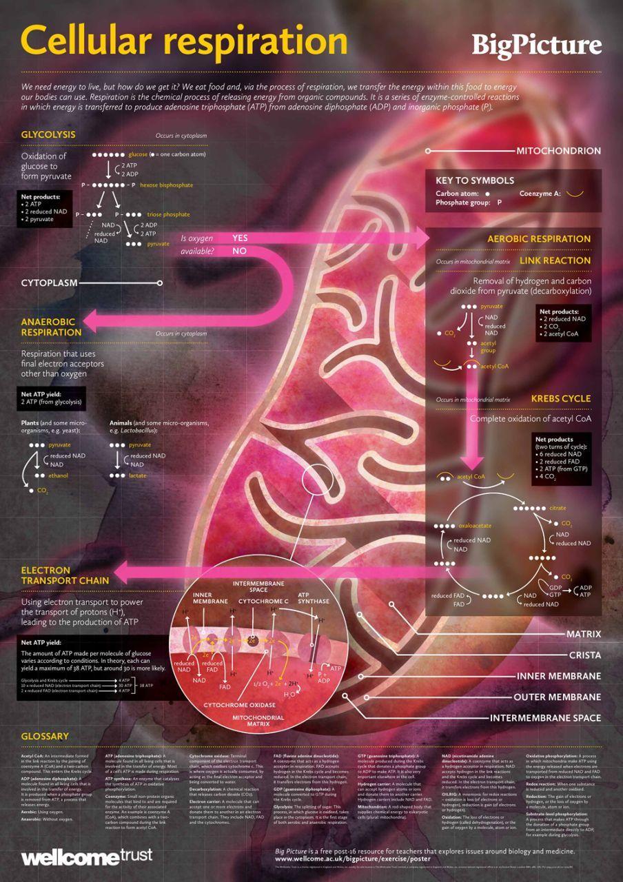 Cellular Respiration Diagram Science biology, Biology