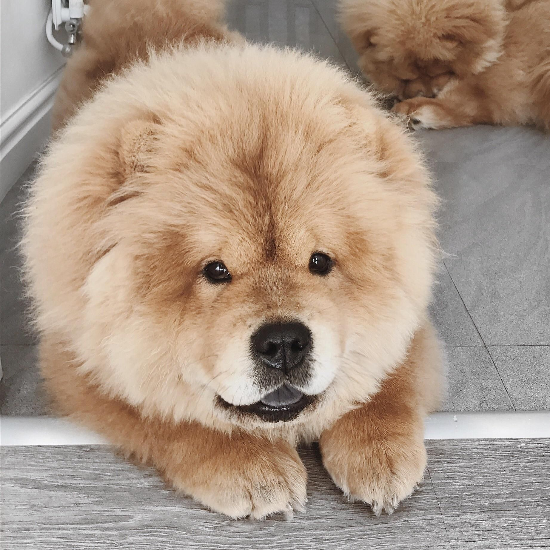 Pin By Arata On Cute 3 Chow Chow Cute Animals Pets