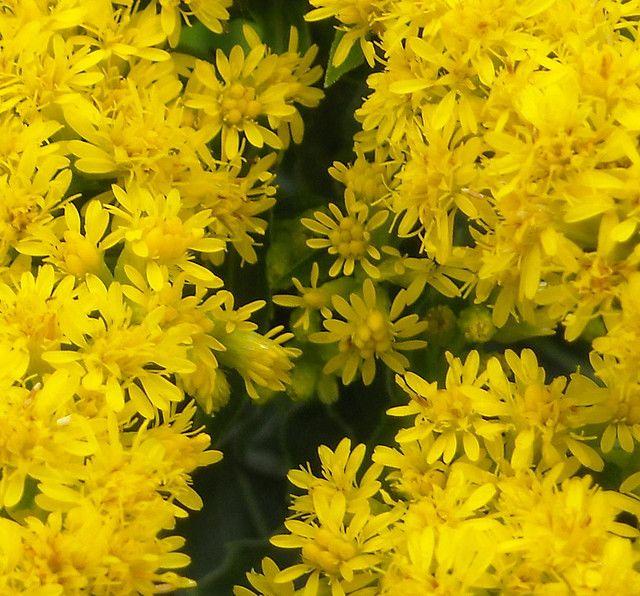Kentucky State Flower Goldenrod Kentucky Kentucky State Flower