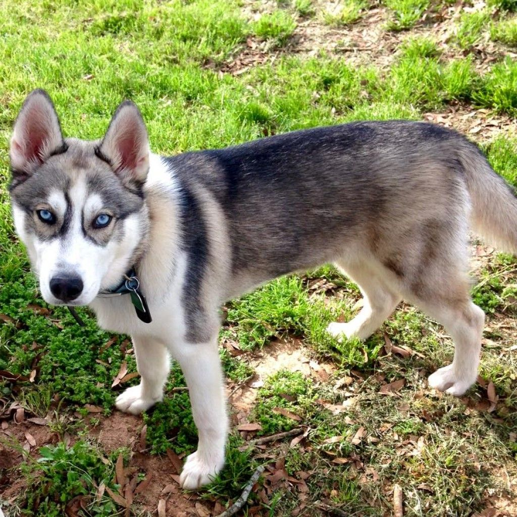 Northern Inuit Dog World Of Animal Husky Puppies For Sale
