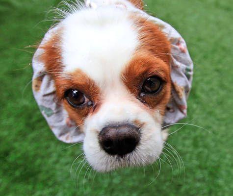 Jackson A Cavalier Kc Spaniel At Westminster Westminster Dog Show Dog Show Cavalier King Charles Dog