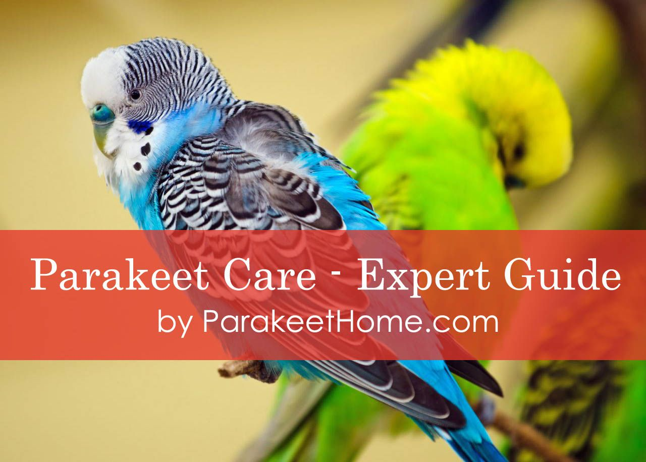 Parakeet Care Expert Guide To Keep Your Parakeet Healthy In 2019