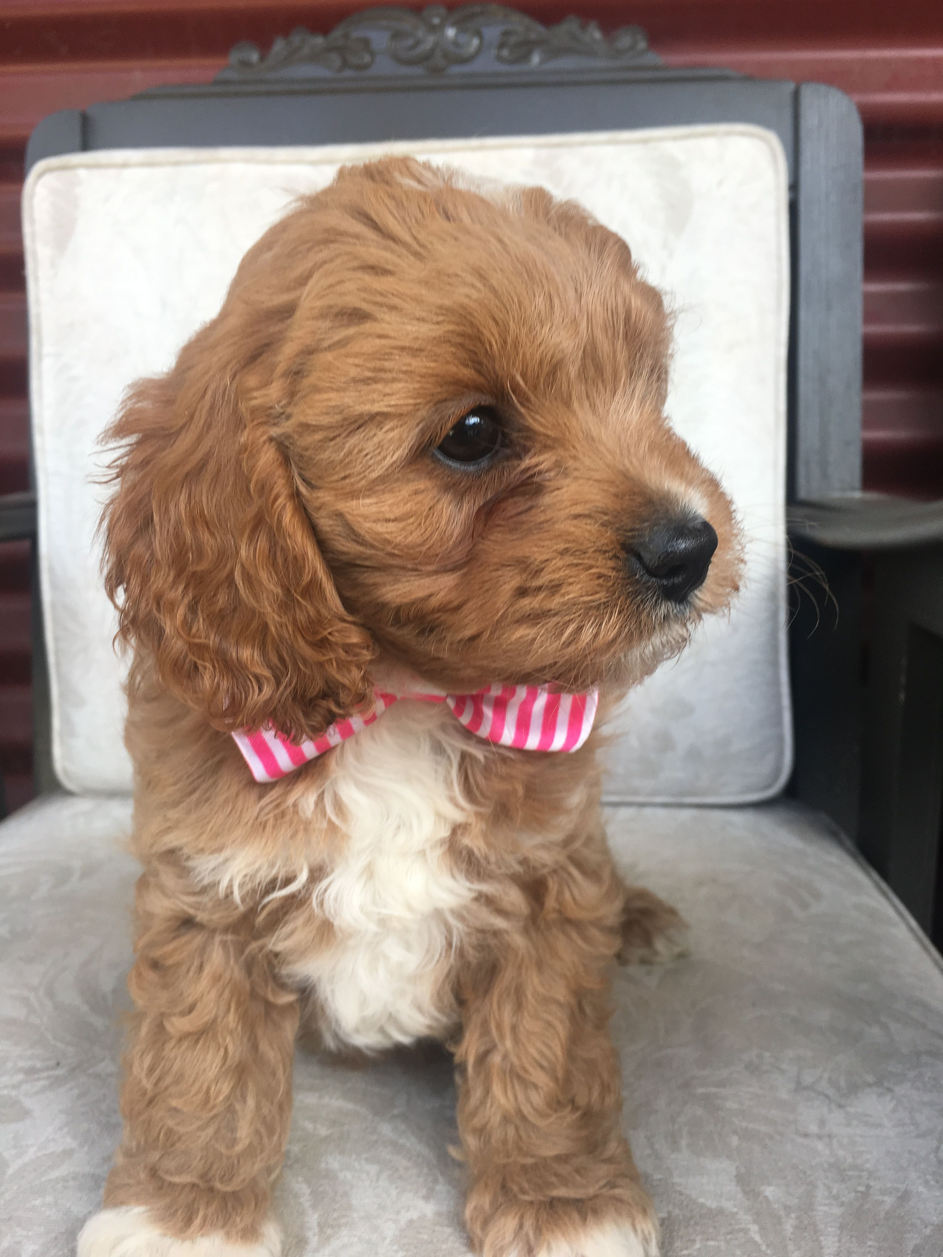 Cavoodle Puppy Pup Puppies Dogs