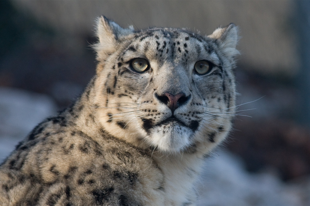 The Snow Leopard Ghost Cat Of The Mountains The Jaguar Snow Leopard Snow Leopard Habitat Ghost Cat