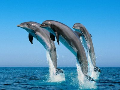 Dolphins at Chilika Lake in Odisha See the Beautiful Place : Visit with Visakha Travels http://www.visakhatravels.com/
