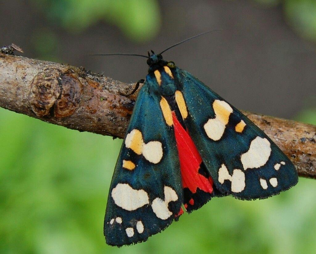 Des papillons venus d'ailleurs