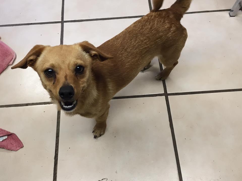 Chiweenie Dog For Adoption In Joplin Mo Adn 555985 On