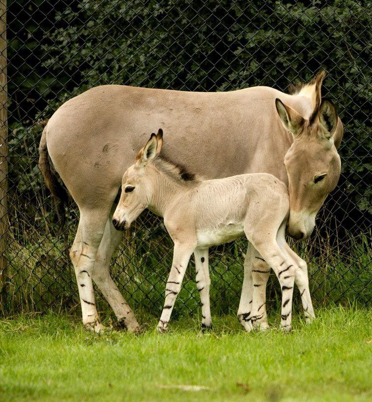 Little Somali Wild Ass Foal with Mom. Photo: Daniel Davies / Woburn Safari  Park