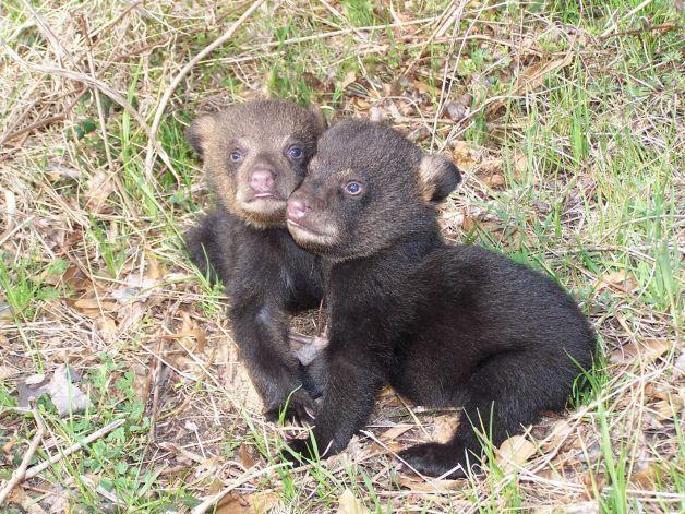 Black Bears Come Home To East Texas Black Bear Bear Texas