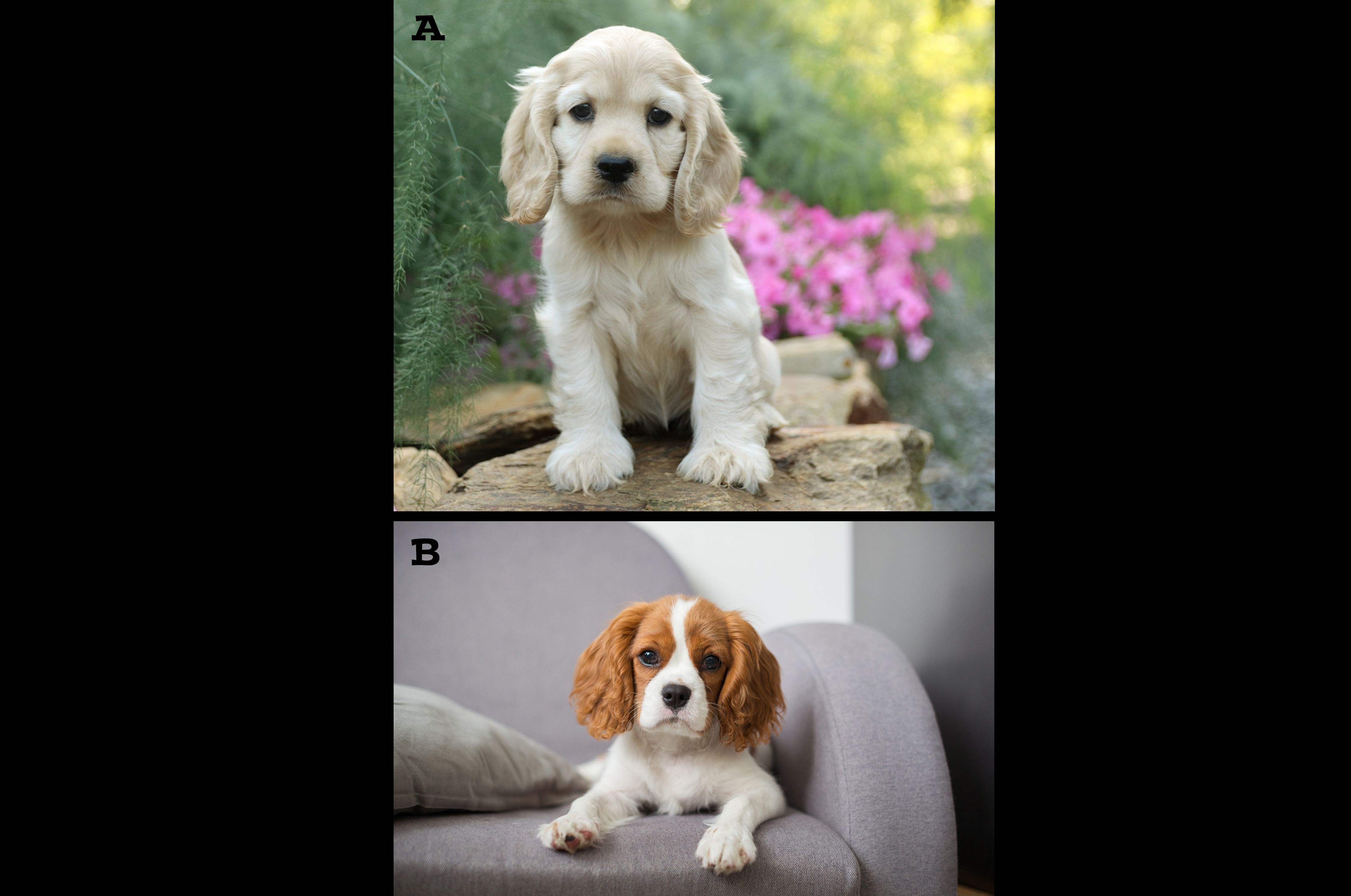 We Want To Know What You Think Cast Your Vote Folks Which Puppy Would Yo In 2020 King Charles Cavalier Spaniel Puppy Lancaster Puppies Puppy Kisses