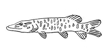 Northern Pike Coloring Pages Northern Pike Coloring Pages Color Scout