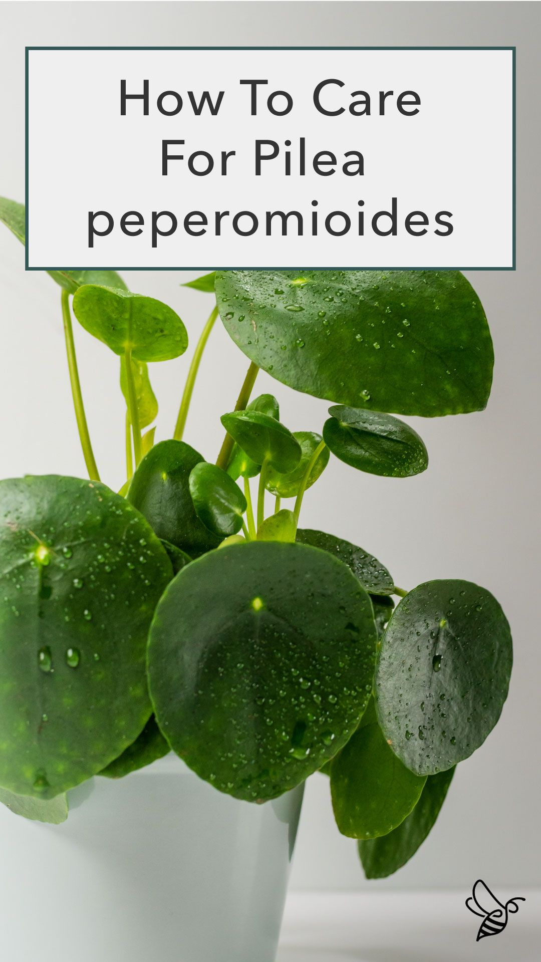 Pilea peperomioides or Chinese Money Plant is actually a succulent!   Extremely popular as it is easy to propagate (which means more plants for you!)   It prefers a humid environment and bright, indirect light. Remember to rotate the plant occasionally as the leaves will grow towards the light!  #pilea #Pileapeperomioides #moneyplant #succulent #houseplant #easyhouseplants #urbanjungle #indoorplants #tropicalplants #lowmaintenanceplants #pileacare #planttips