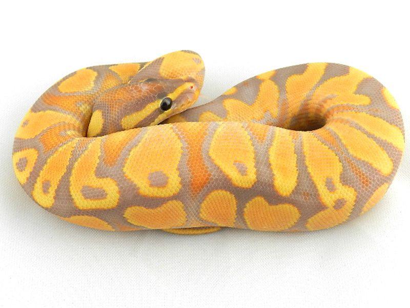 Super Orange Dream Yellow Belly Banana My Reptile Love