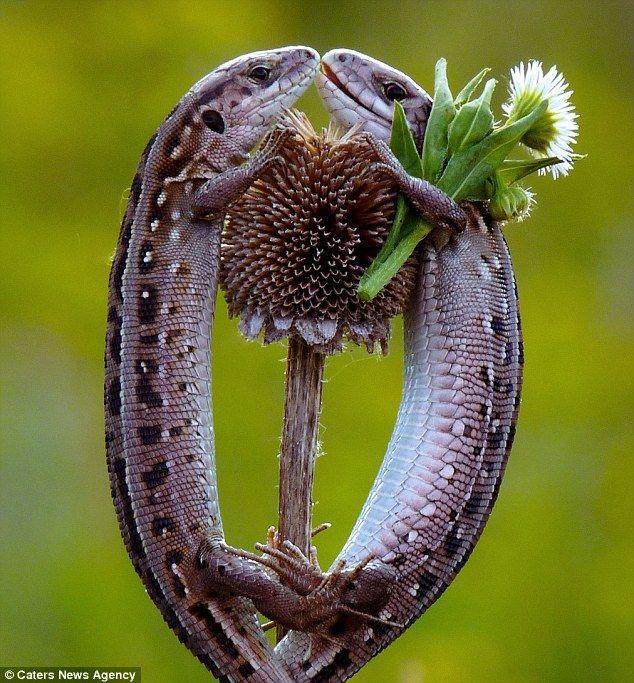 Lovely Lizards