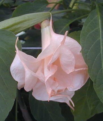 Brugmansia bianca rose.