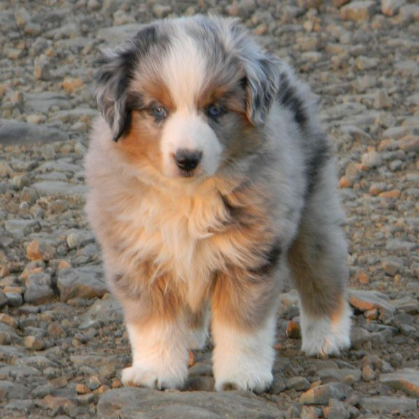 Welcome To Shining Star Aussies This Aussie Is Sooo Cute Aussie Dogs Australian Shepherd Puppies Australian Shepherd Dogs