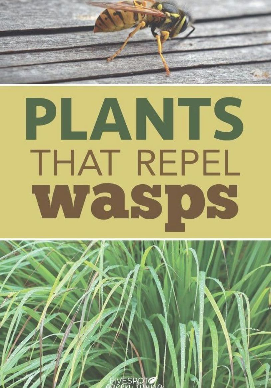 The Best Wasp Repellent Plants Five Spot Green Living