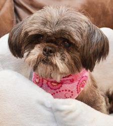 Adopt Helen Royse On Shitzu Dogs Shih Tzu Dog Dog Training