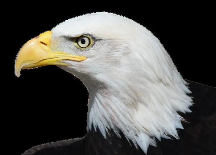 Bald Eagle Transparent Png Image Free Pik Psd Bald Eagle Png Images Vector Images