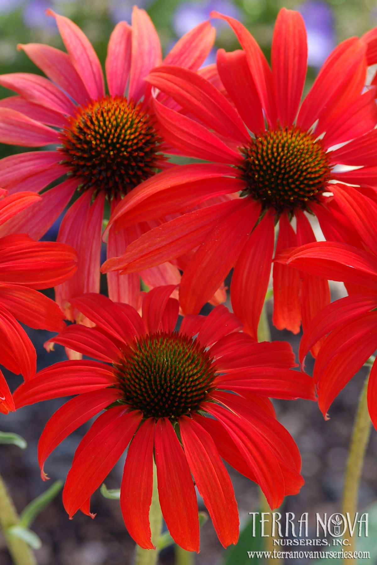 Echinacea Tomato Soup Warm Tomato Red Flowers To 6 Wide