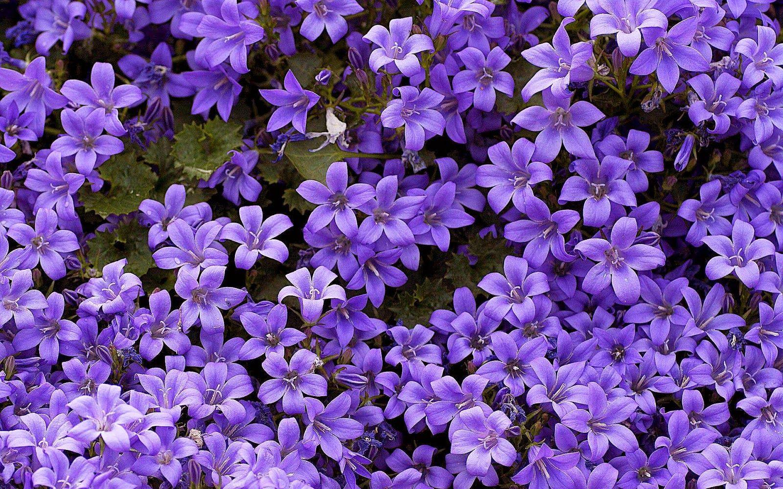 Blumen Hintergrundbilder: Desktop Wallpaper Mit Lila Blumen