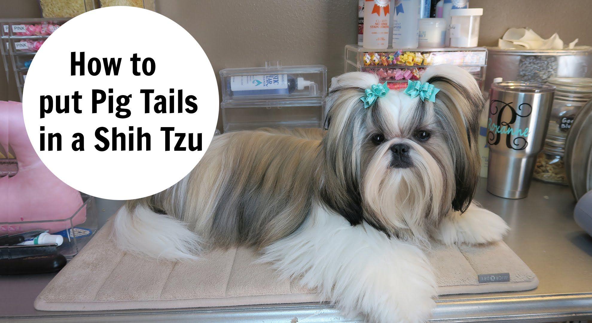 How To Put Pigtails In Your Dog Youtube Shih Tzu Grooming Shih Tzu Shih Tzu Haircuts