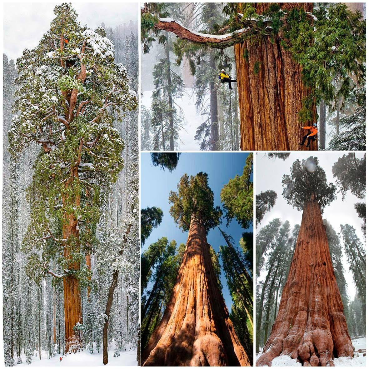 Esta secuoya gigante tiene 3.200 años aproximadamente de antigüedad. Ha resistido miles de tormentas, duros inviernos , terremotos, e incluso el cambio climático. Este árbol que nunca había sido fotografiado en su totalidad, fue capturado finalmente. La fotografía final es un mosaico de 126 imágenes. Info: