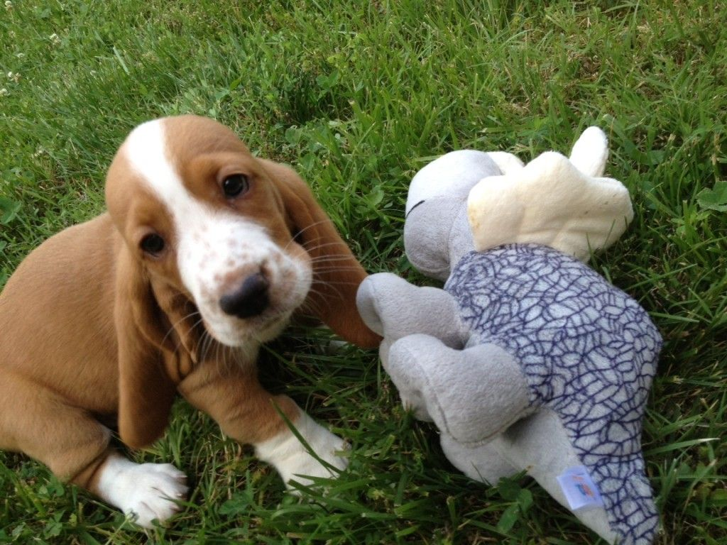 Basset With Lovey Basset Hound Beagle Basset Hound Hound Puppies