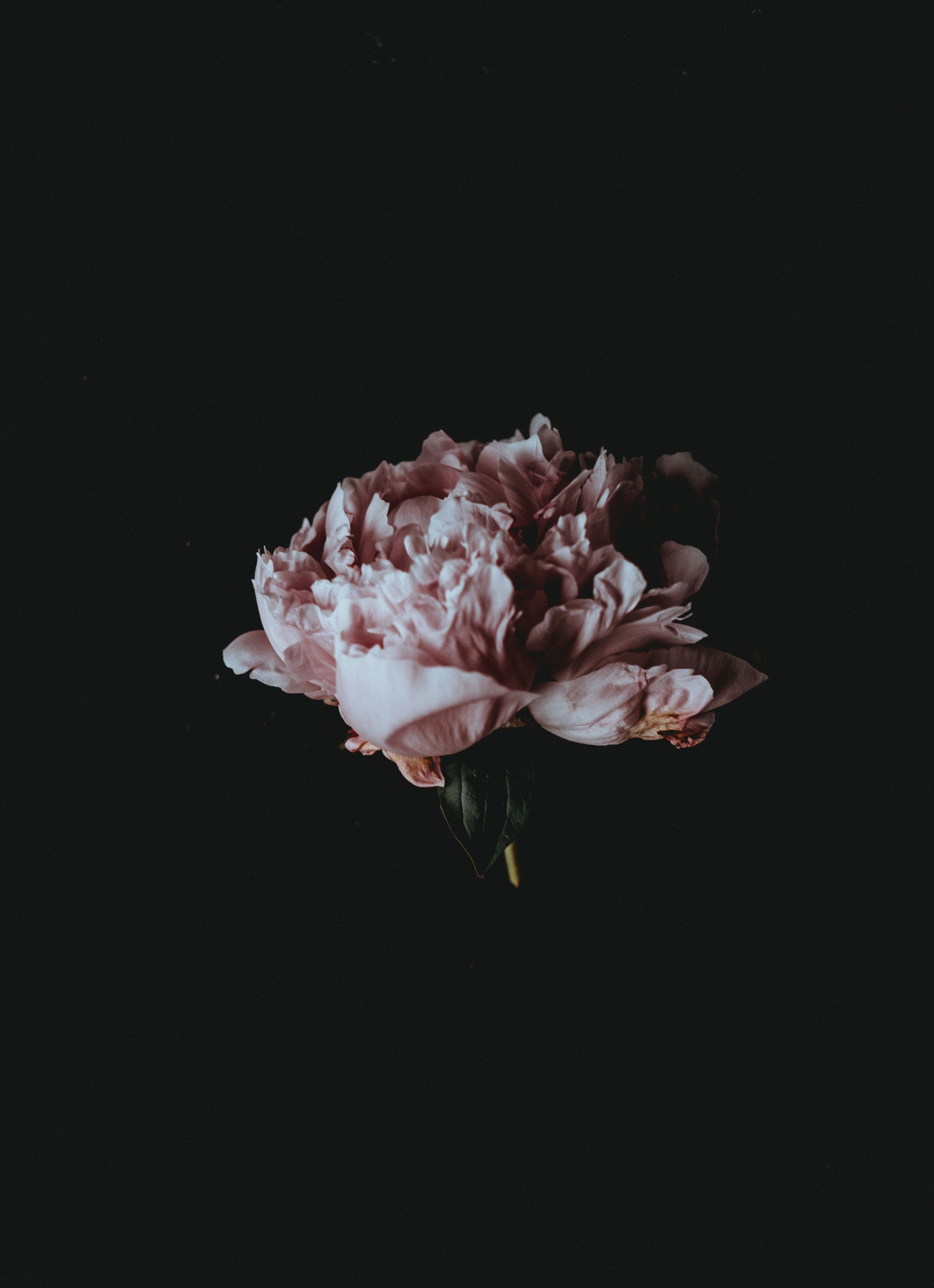 A pale pink peony flower against a black background