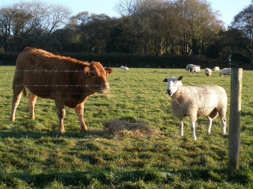 Lovely boys sharing dinner together!! #Sharing #Cattle #Sheep #Farming