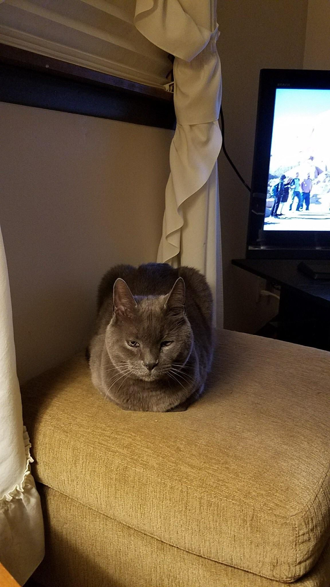 Squinty eyes loaf. (With images) Cat s, Cats, Animals