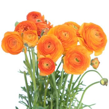 Orange Ranunculus Bulk Flower May 15th To August Delivery Orange Ranunculus Wholesale Flowers Flower Bouquet Wedding