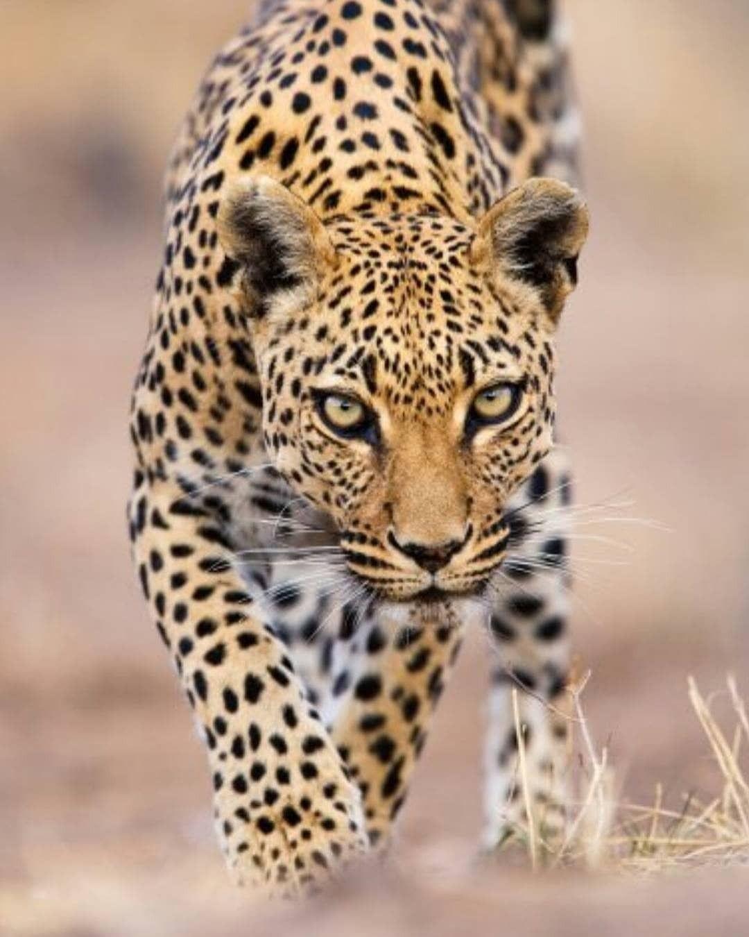 Photography By C Stephen Belcher Leopard S Piercing Eyes