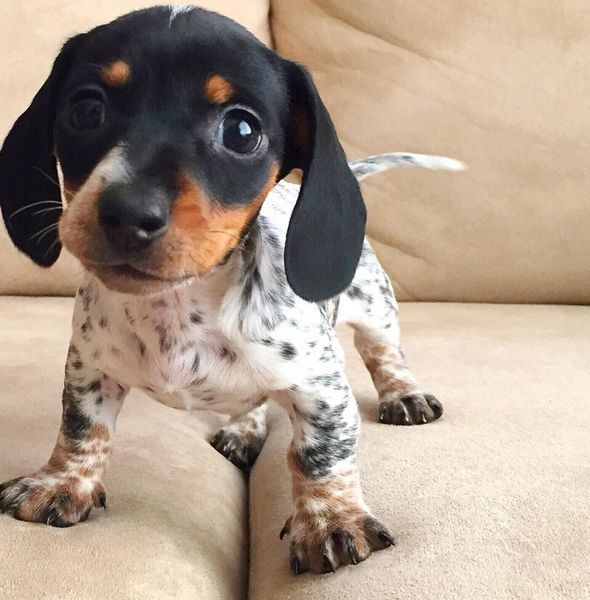 Cute Spotted Dachshund Puppy With Images Puppies Cute