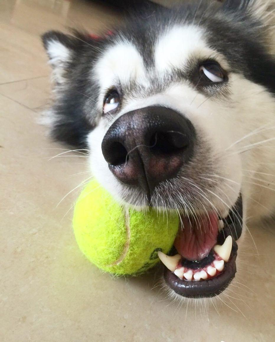 Resultado de imagen para husky ball
