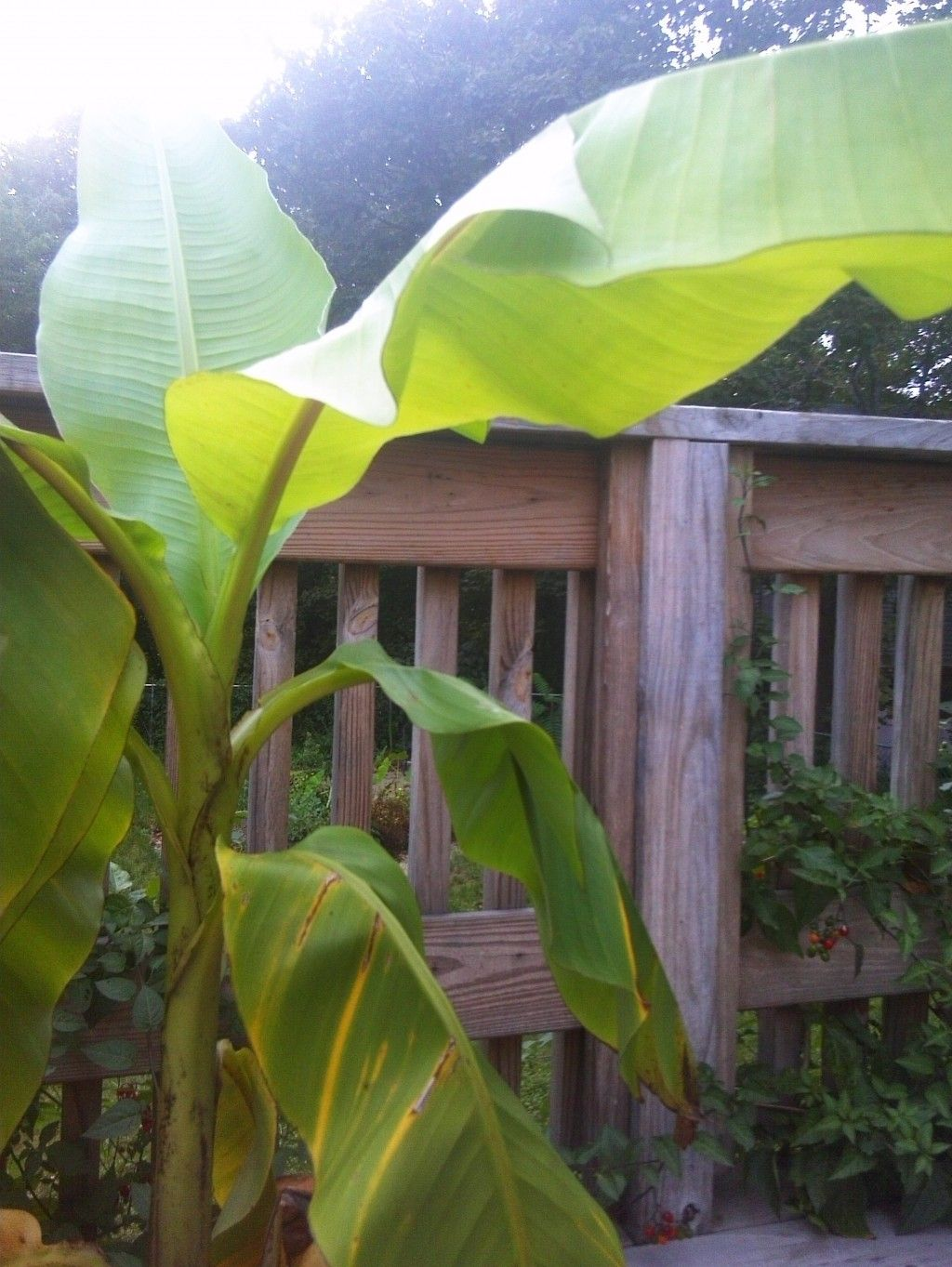 the most cold tolerant banana plant musa basjoo bananas